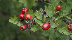Hawthorn leaf and berries