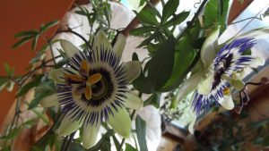 My_passionflower