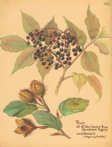 A drawing of elderberry branches from an old herbal.